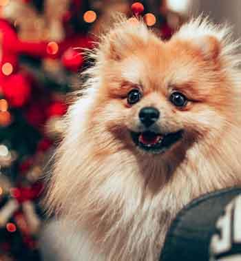 Pomeranian Boo Çocuklar İçin Uygun mu?