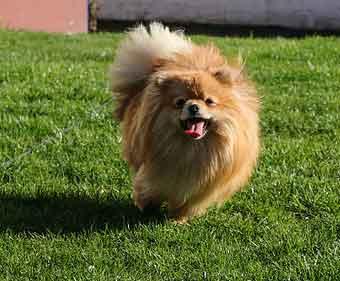 Pomeranian Boo Sahiplenmek İsteyenlerin bilmesi Gerekenler