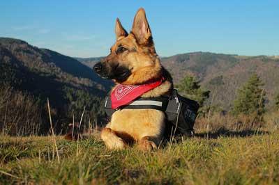 En zeki köpek cinslerinden olan Alman Kurdu