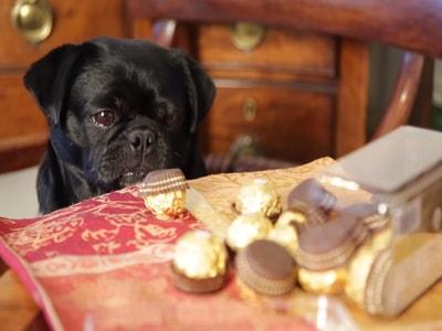 Çikolata köpekleri zehirler mi?