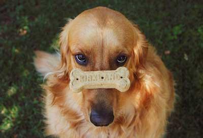 En zeki köpek cinslerinden olan Golden Retriever