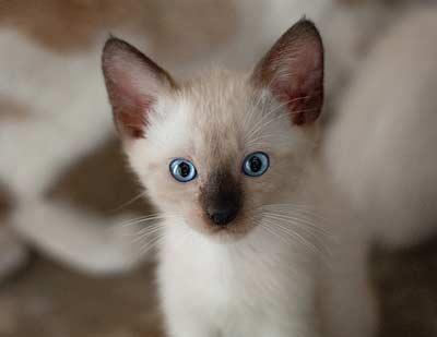 Siyam Kedisi Bakımı Nasıl, Bakımı Zor mu ?
