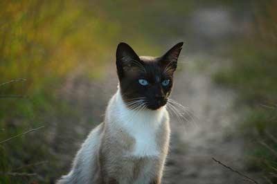 Siyam kedisi Sahiplenmeden Önce Bilinmesi Gerekenler
